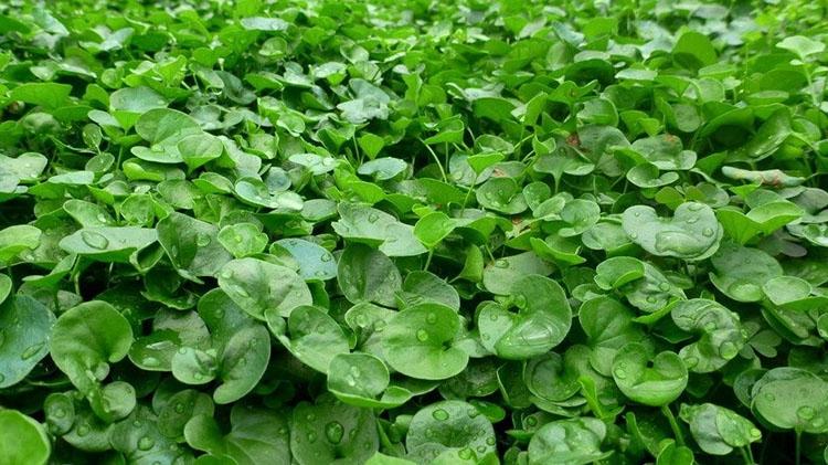 Coltivare la dicondra - Quando seminare erba giardino ...
